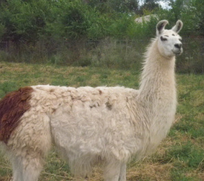 Suki, our best petting llama is the tallest llama and always looks this stunning.